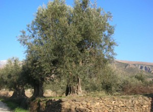olive-oil-tour