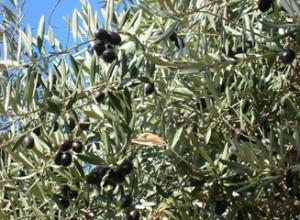 olive-oil-tour5